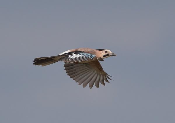 Jays in Flight by NeilSchofield