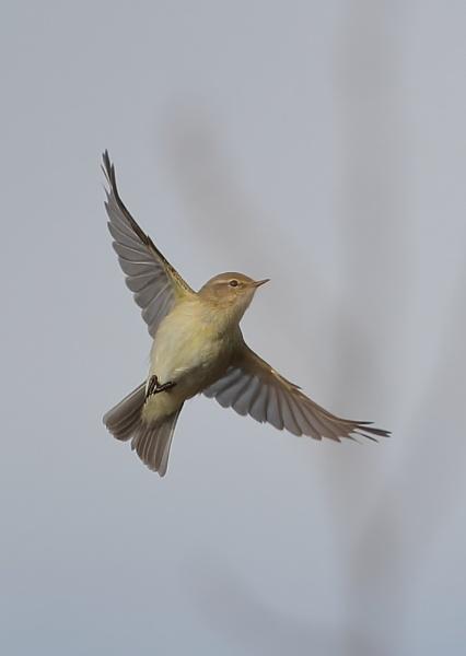Paddyfield Warbler in Flight by NeilSchofield