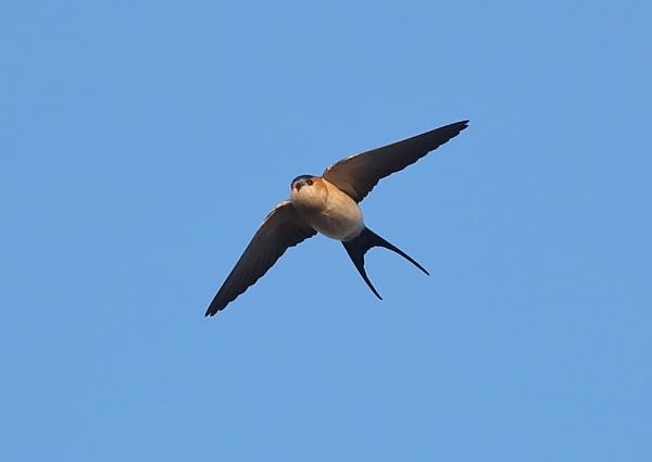 Red Rumped Swallow in Flight by NeilSchofield