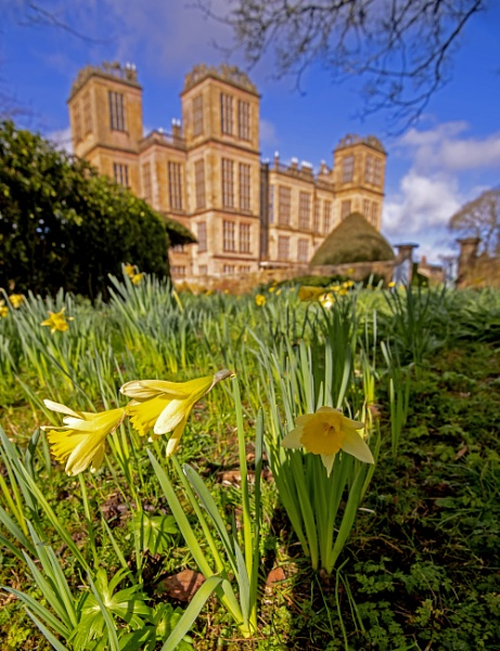 Daffodils  At Hardwick Hall by mmart