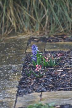 Hyacinth in back garden