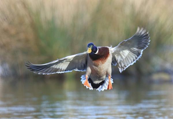 Mallard Landing by HenB