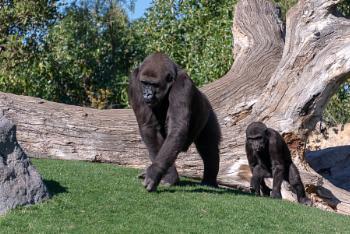 VALENCIA, SPAIN - FEBRUARY 26 : Gorilla at the Bioparc in Valenc