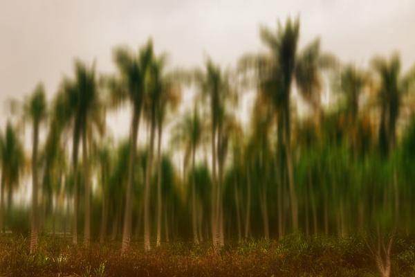 Coconut plantation by bobbyl