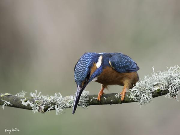 Kingfisher by CraigWalker