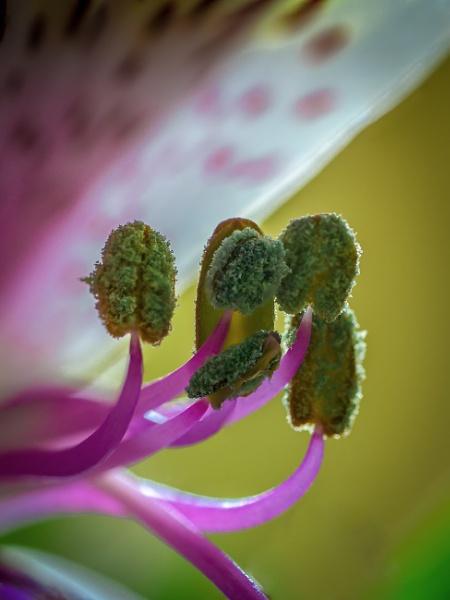 Stamens by chavender