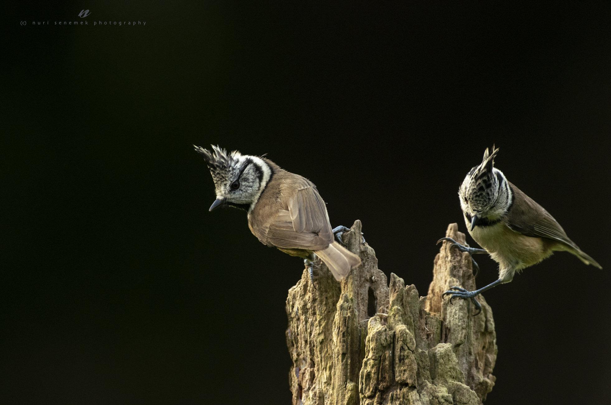 crested tit / Lophophanes cristatus
