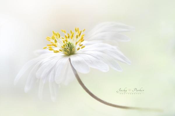 Anemone blanda by jackyp