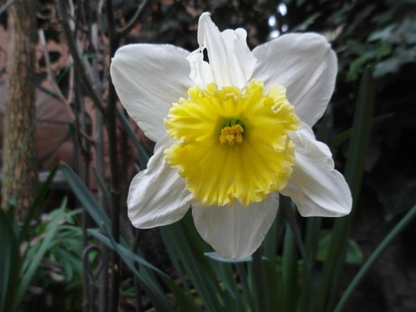Daffodil by laura1