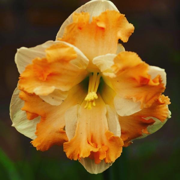 Frilly Daffodil by caj26