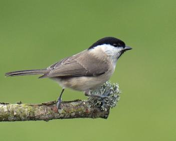 Marsh Tit - Before and After