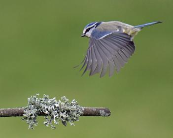 Another Blue Tit