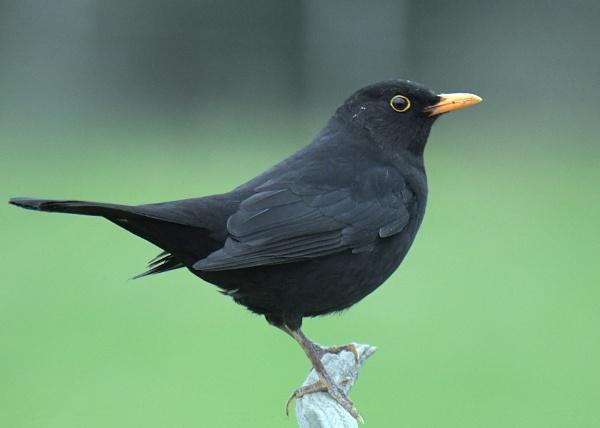 Mr Blackbird by Holmewood