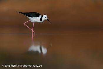 Black-winged stilt on a calm morning
