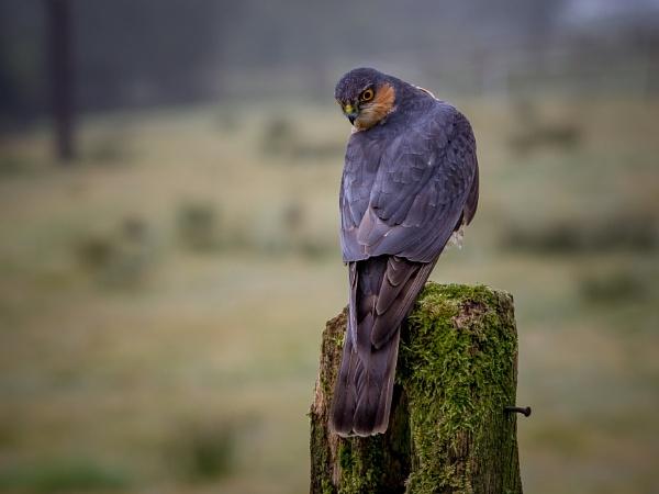 Sparrowhawk (wild) by Stevetheroofer