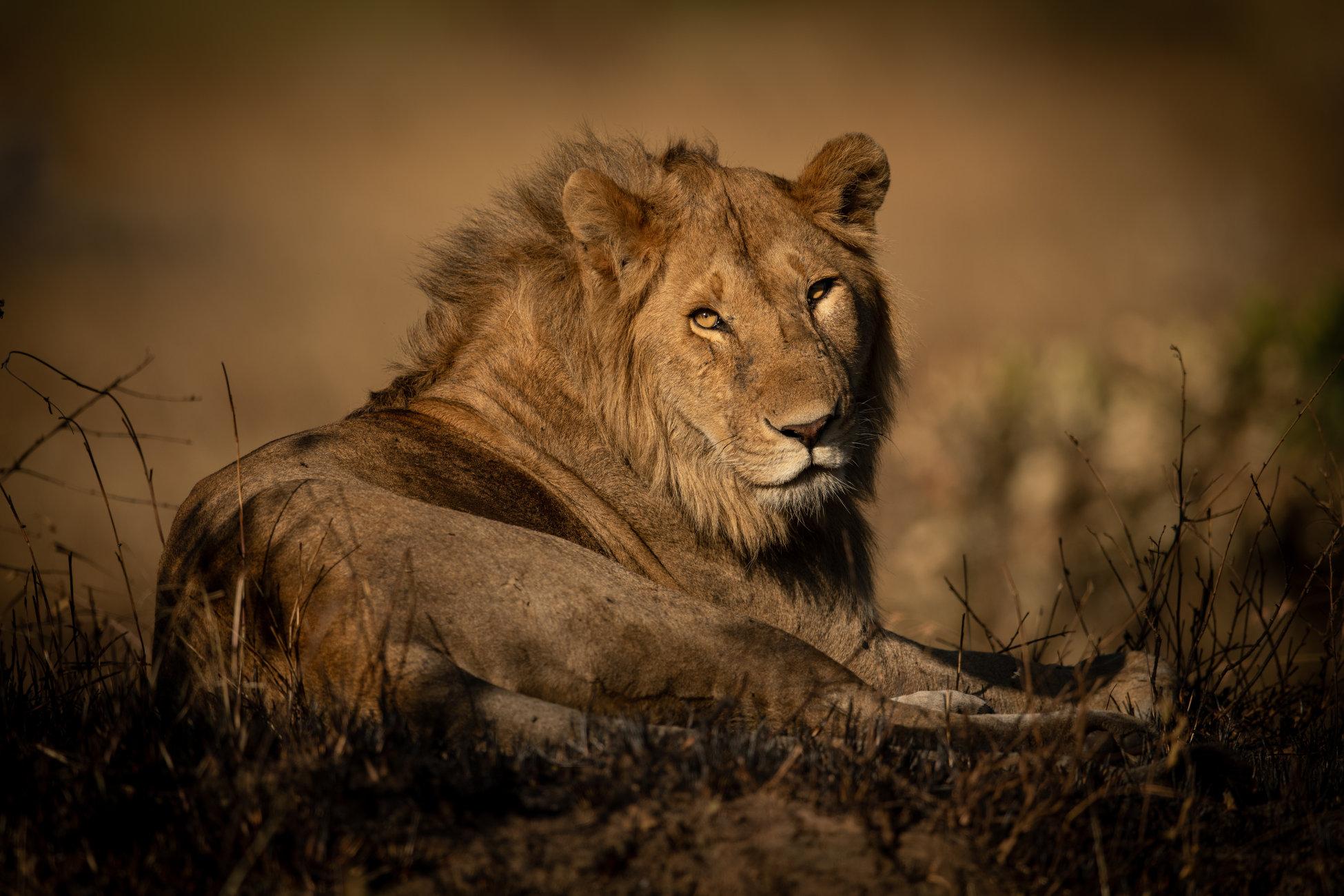 Male lion lies in grass eyeing camera