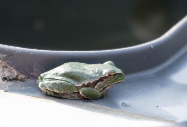 Frog on a bin! by bucket