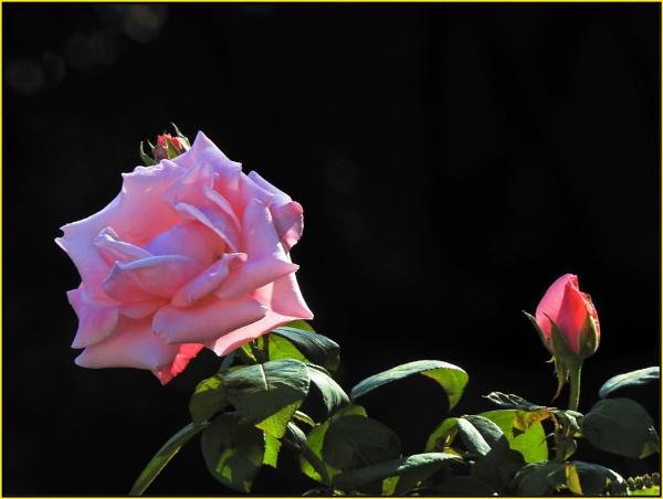 Pink by fotobee