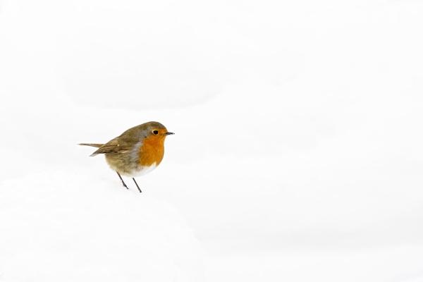 Robin by TrotterFechan
