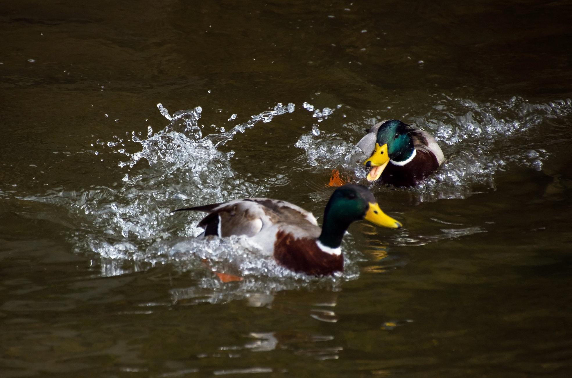 Feisty ducks