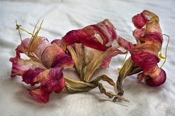 Three Faded Amarylis Flowers