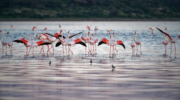 Flamingo by Zeevkirshenboim