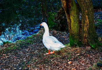 Goose in the woods