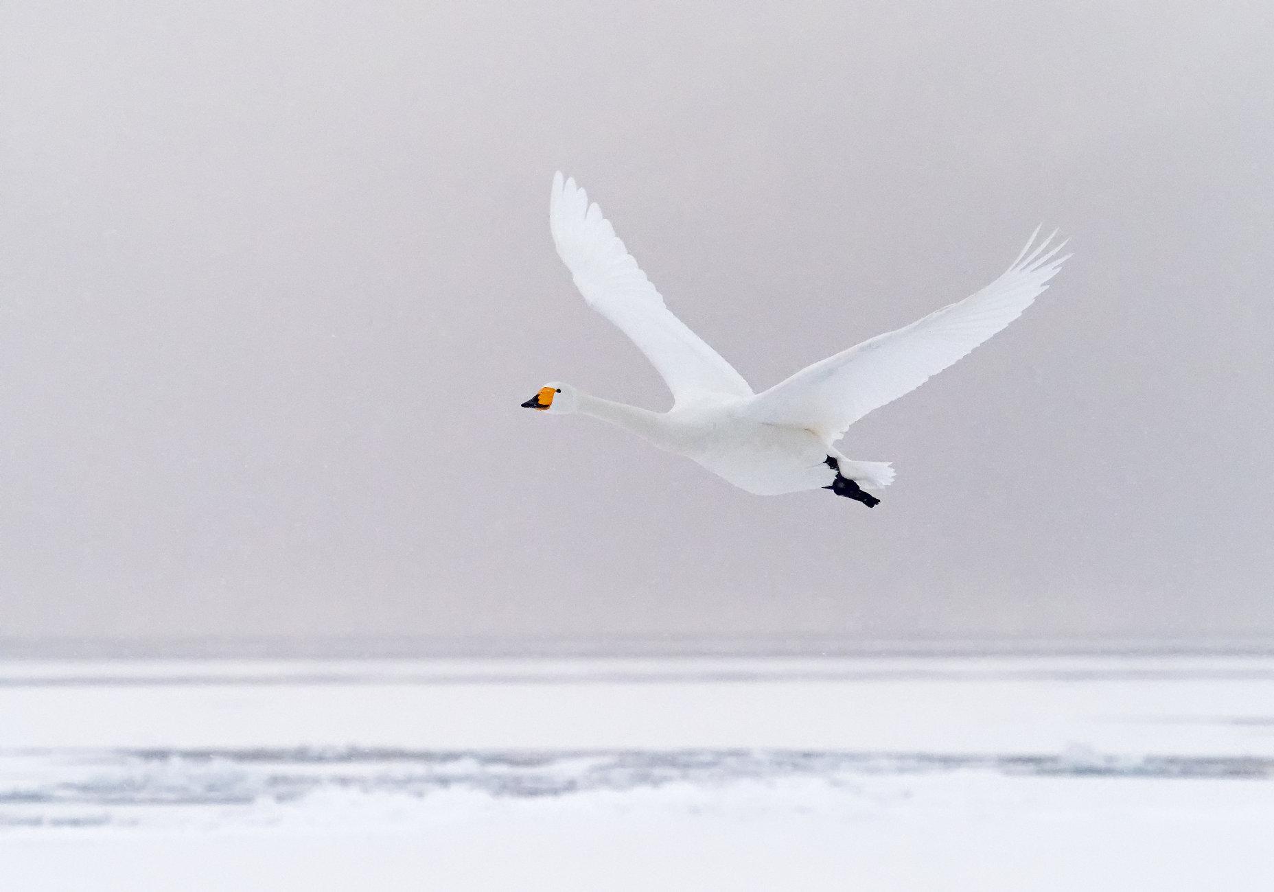Whooper swan 2 in Lake Kussharo-ko