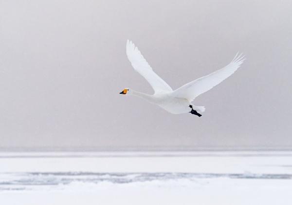 Whooper swan 2 in Lake Kussharo-ko by hannukon