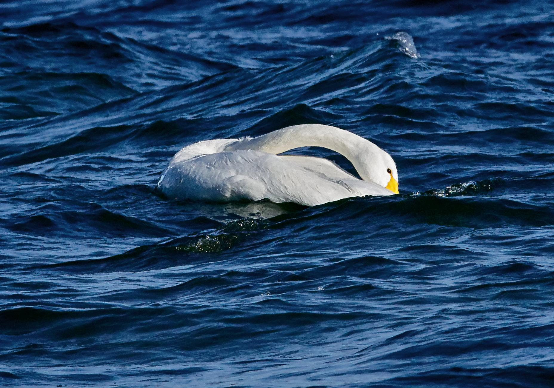 Whooper swan 3 in Lake Kussharo-ko