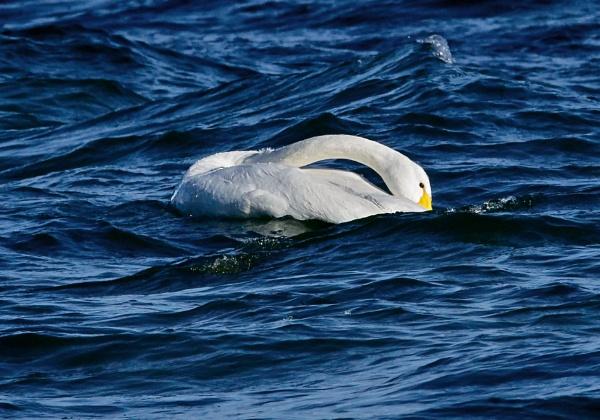 Whooper swan 3 in Lake Kussharo-ko by hannukon