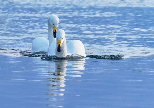 Whooper swans in Lake Tofutsu by hannukon