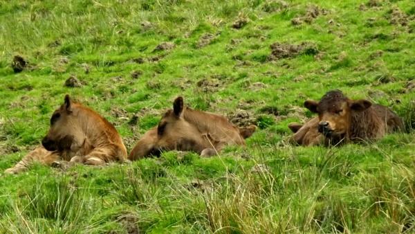 Three brown calves by Alan26