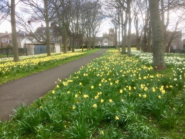 Daffodils. by Pinarellopete