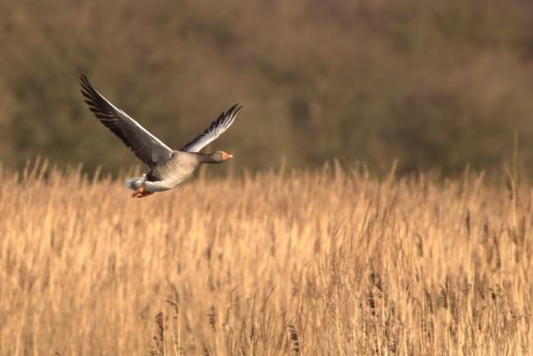 Greylag Goose in flight by rawshooter