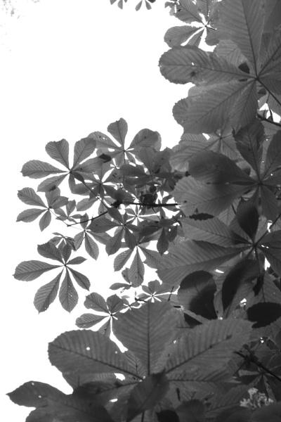 Chestnut leaves by BertM