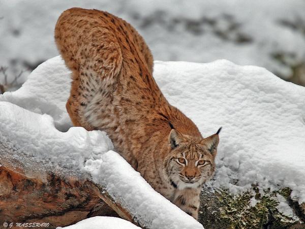 Lynx    (Bayerischer Wald - controlled area) by GPMASS