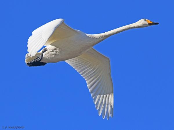 Swan by GPMASS