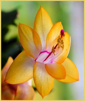 ** Yellow Cacti **