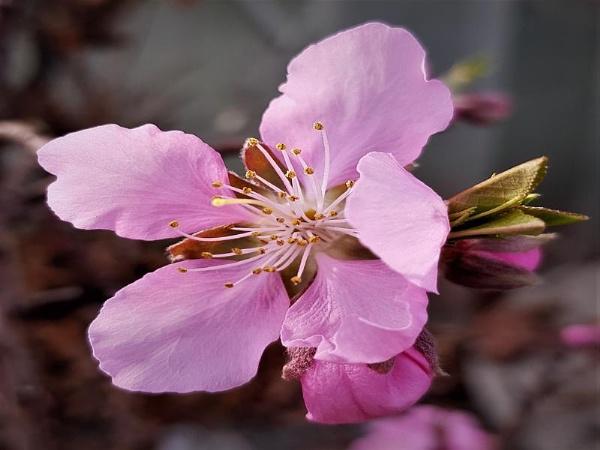 Peach blossom by rosej
