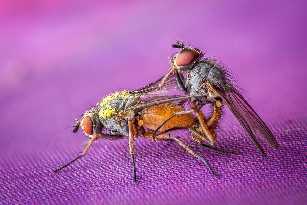 Mating Flies by barrywebb