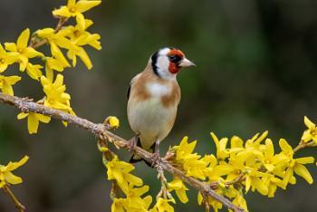 Goldfinch on Forsythia