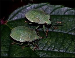 Green Shield Bugs-Pairs...