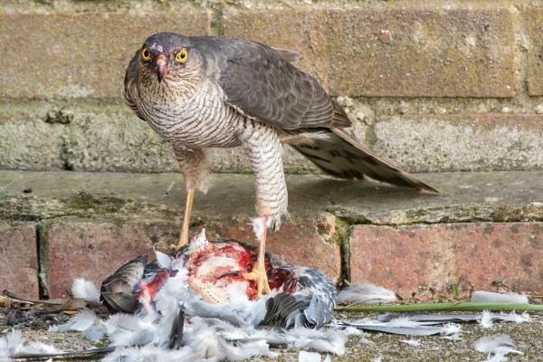 Sparrowhawk again by chris61