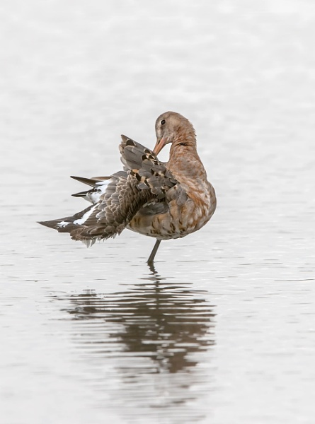 Black-tailed Godwit (Limosa limosa) by Ray_Seagrove