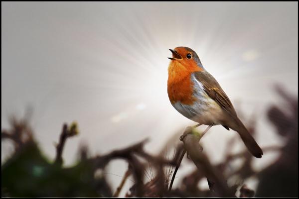 Robin (again)