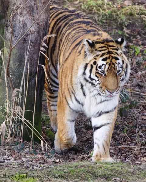Amur Tiger by Alan_Baseley