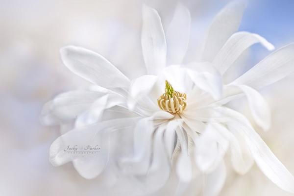 Magnolia stellata by jackyp