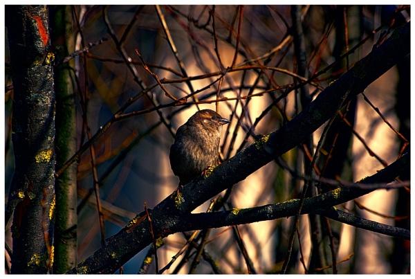 Sparrow by vikma19