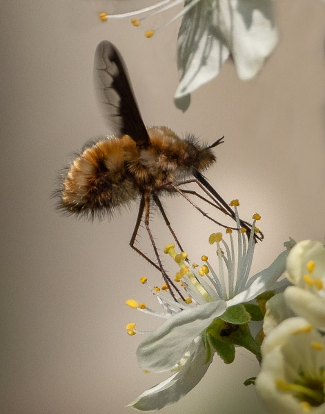 Dark-Edged  Bee- Fly feeding on Greengage blossom by gill_f